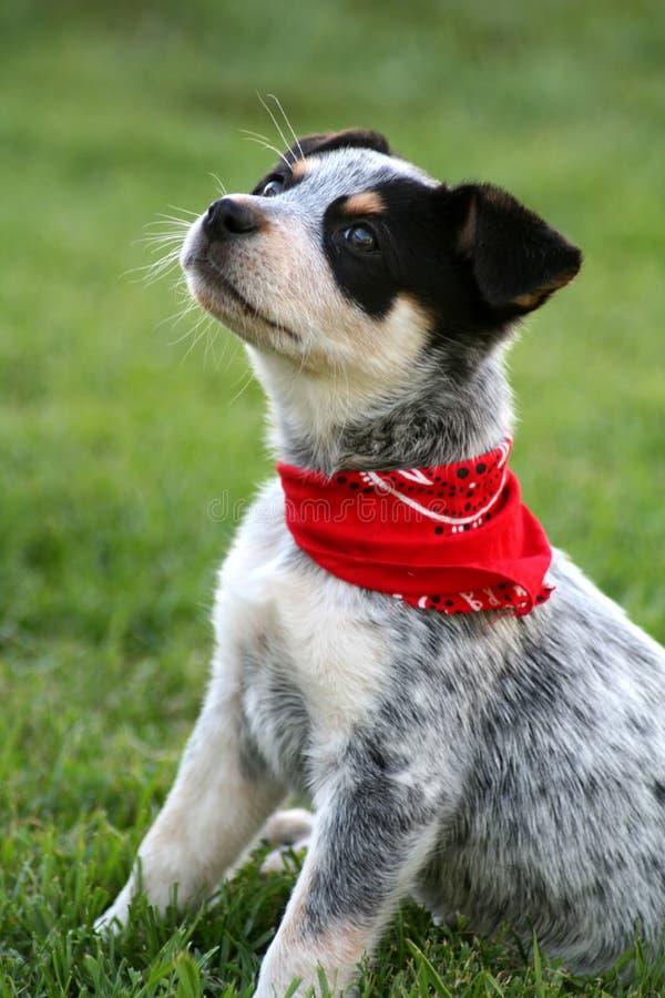 Pup 7 di Heeler fotografie stock