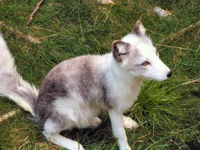 Pup Artic 2 di Fox immagini stock libere da diritti