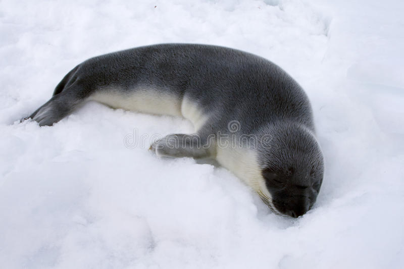 Download Pup di foca dal cappuccio immagine stock. Immagine di hooded - 10778835