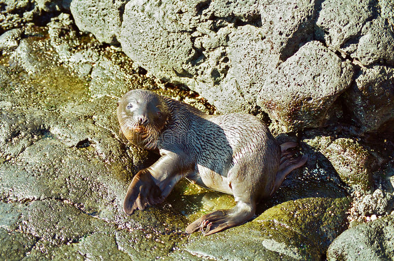 Pup di guarnizione del Galapagos immagine stock