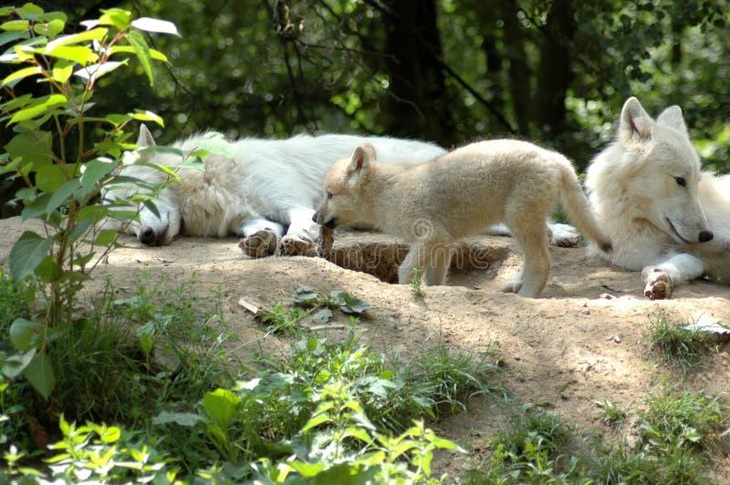 Pup eats bone. Wolf's family ( Canis lupus tundrorum stock photos