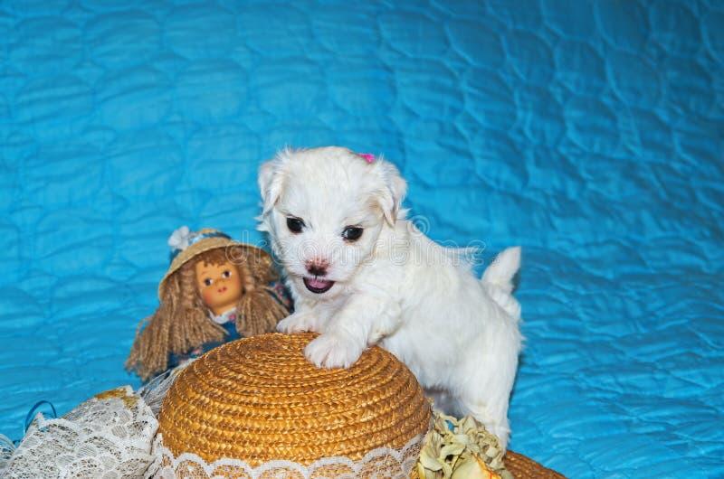 Pup-ras maltese lapdog stock foto