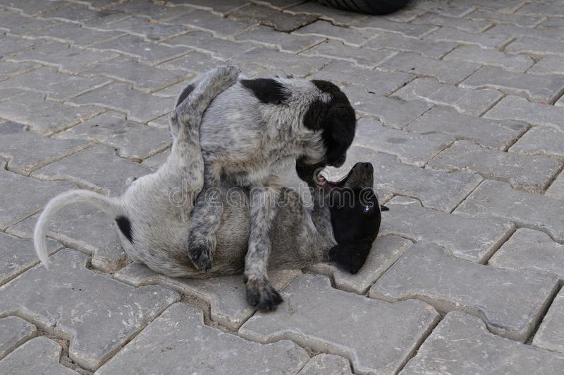 Pup sibling games royalty free stock photography