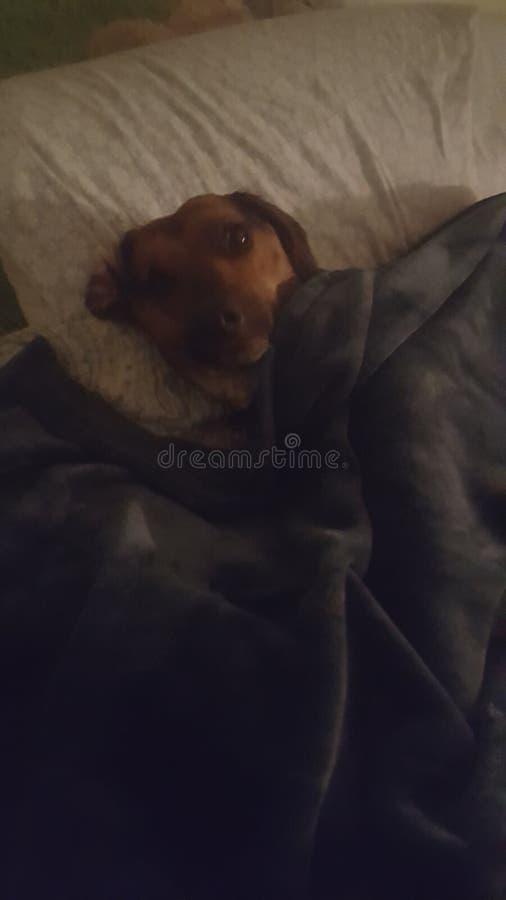 Pup sonnolento immagine stock libera da diritti