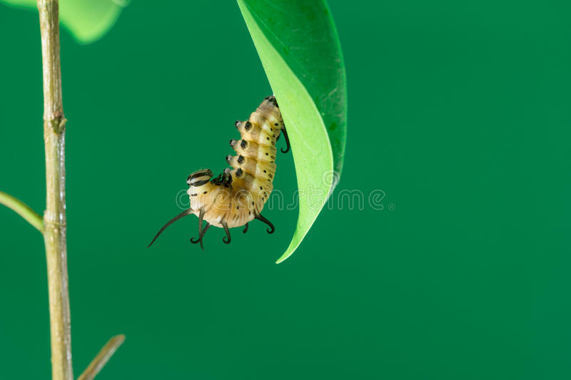 Pupa on branch royalty free stock photos