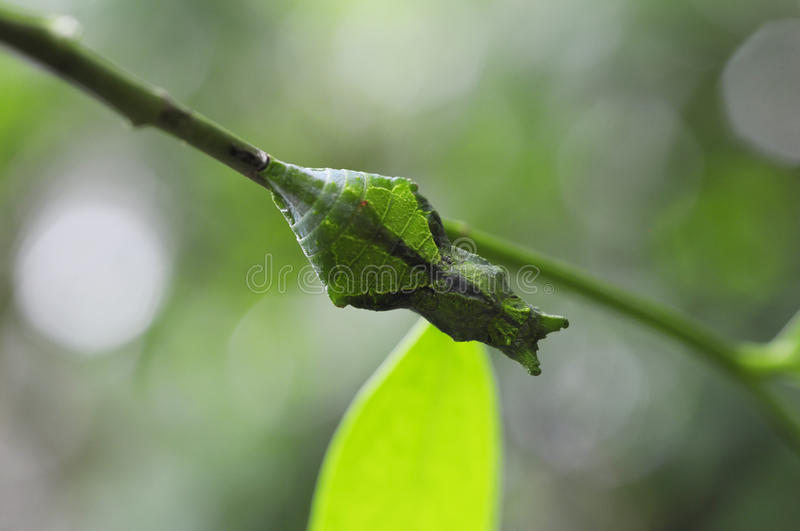 Pupa of butterfly (Common Mormon) stock photo