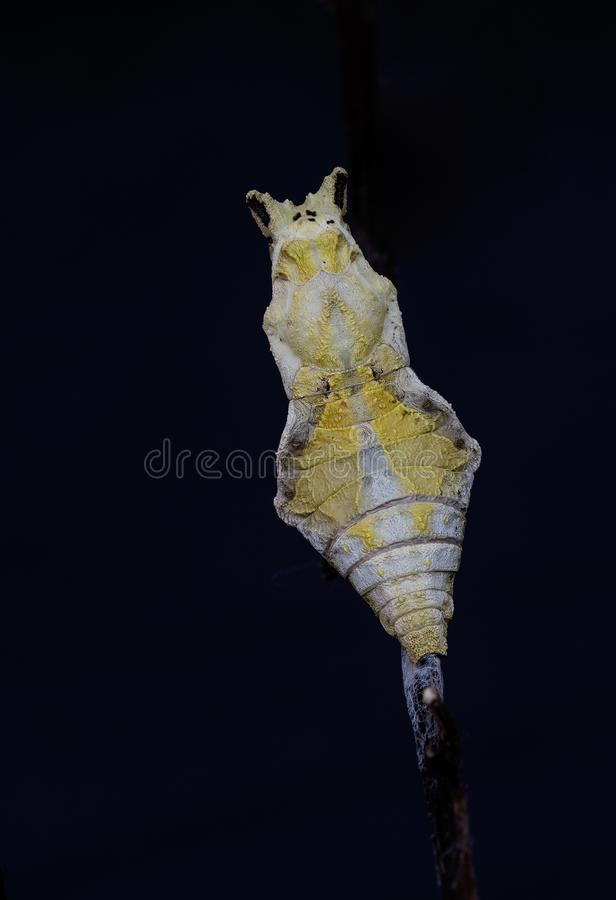 Pupa: common mormon butterfly. Pupa of Common mormon butterfly royalty free stock image