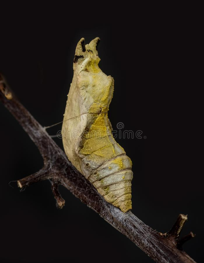 Pupa: common mormon butterfly. Pupa of Common mormon butterfly stock photos