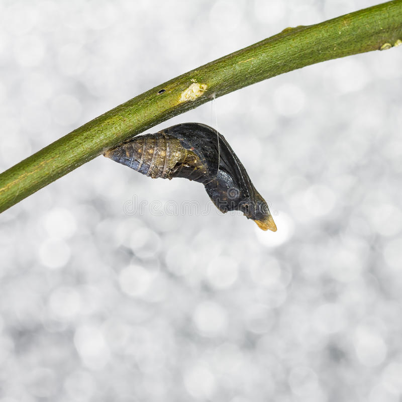 Pupa of common mormon (Papilio polytes romulus) butterfly. Mature pupa of common mormon butterfly, just before its emerging, bokeh background royalty free stock image