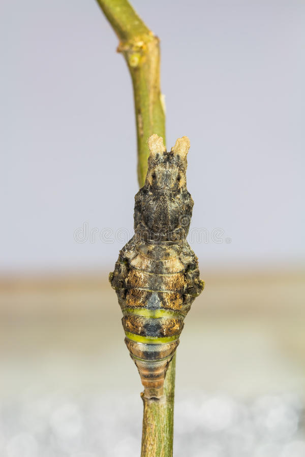 Pupa of Great Mormon butterfly. Mature pupa of great mormon (Papilio memnon agenor) butterfly, just before its emerging stock images