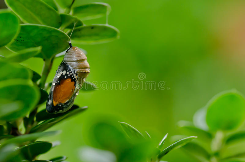 Pupa plain tiger butterfly royalty free stock image