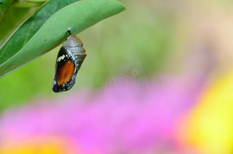 Pupa of Plain Tiger Butterfly royalty free stock photography