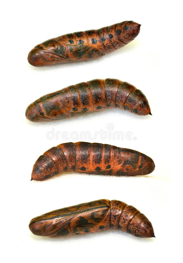 Pupa set of Oleander hawkmoth royalty free stock images