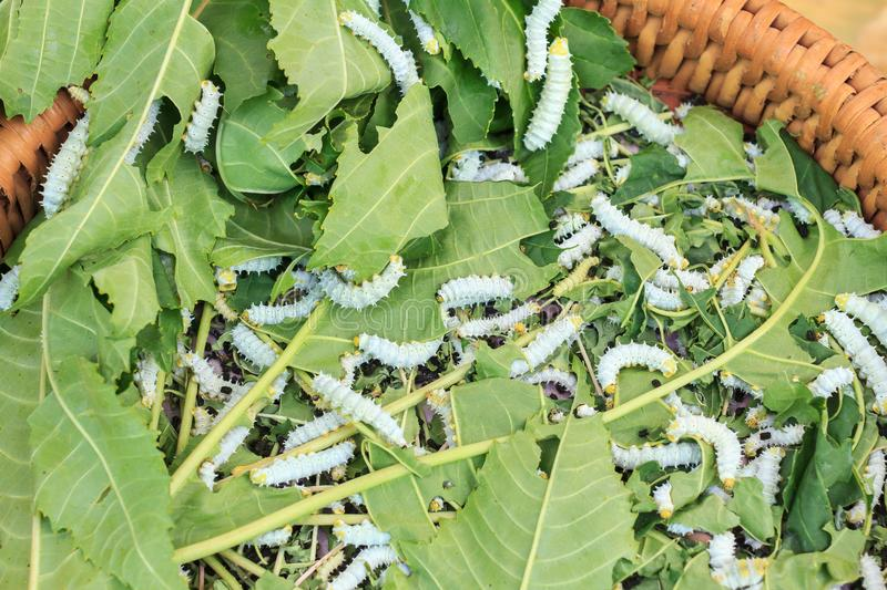 Pupa or Silk worm cocoon the commercially bred caterpillar. Pupa or Silk worm cocoon the commercially bred caterpillar of the domesticated silkworm moth, which stock photo