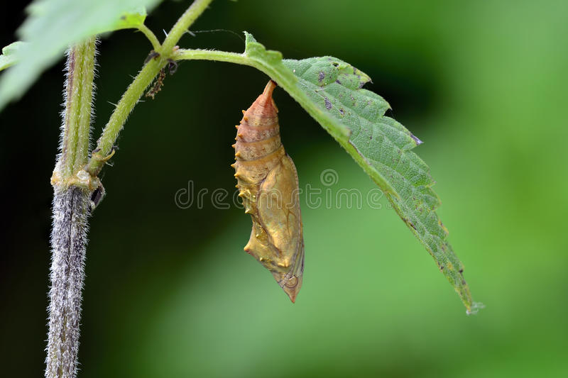 Pupa royalty free stock images
