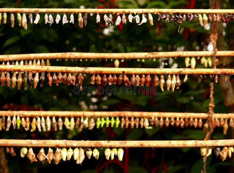 Pupaes de guindineau images libres de droits