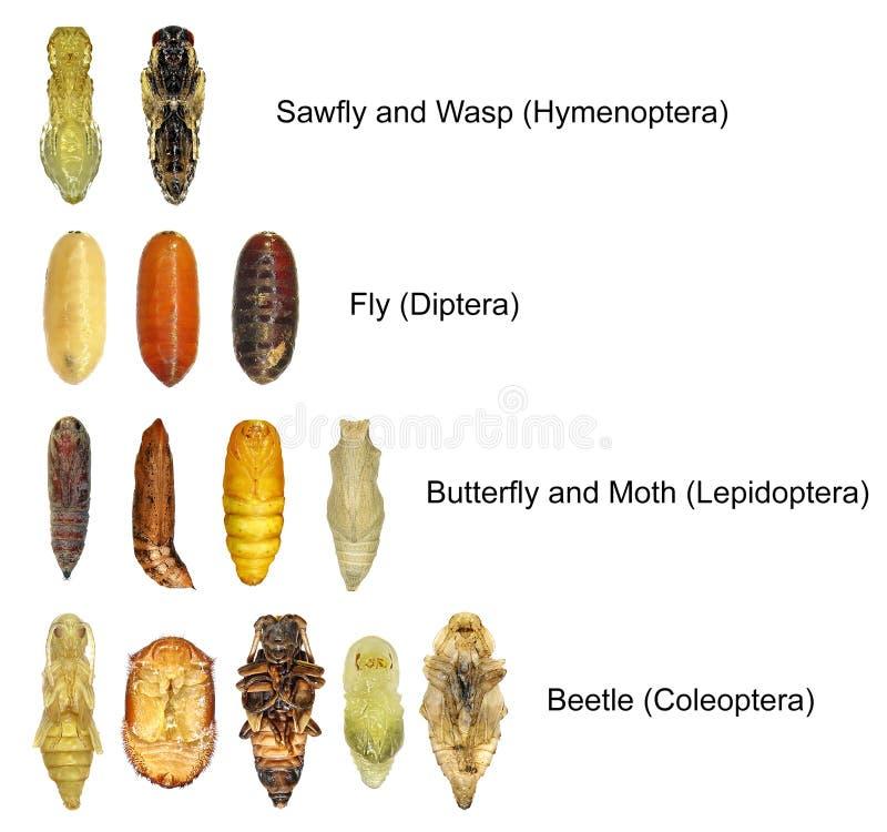 Pupe di insetti fotografia stock