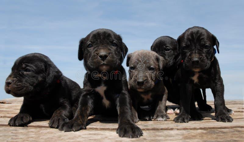 pupies corso тросточки стоковые фото