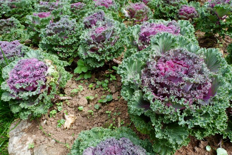 Puple Flowering Cabbage. Brassica Oleracea Heirloom, Puple Flowering Cabbage garden. It can used for decoration or food supplier royalty free stock photo