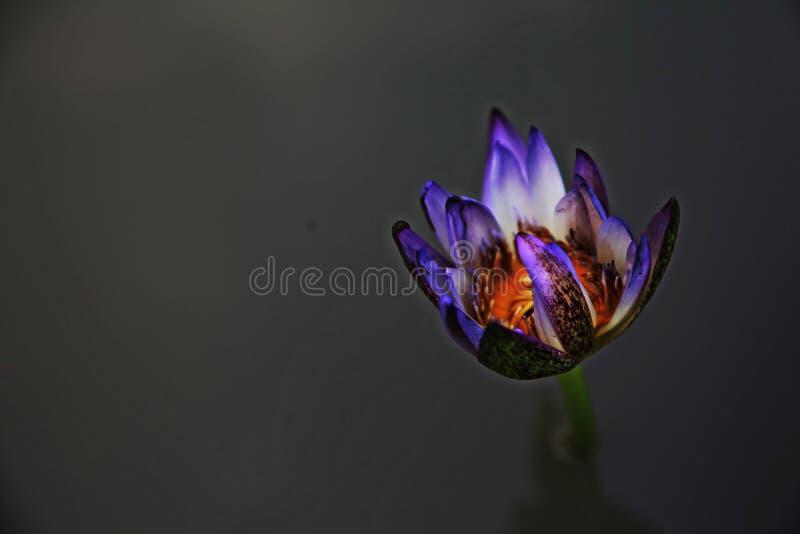 Puple o Lotus violeta en blackground negro foto de archivo