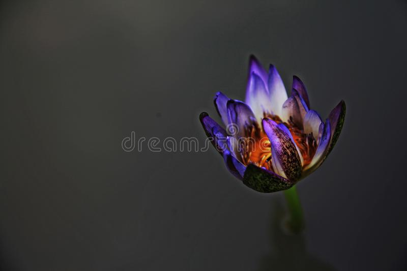Puple of violet Lotus op zwarte blackground stock foto
