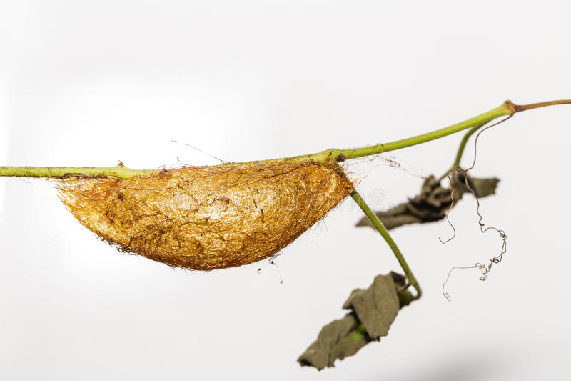 Puppe der goldenen Kaiser-Motte (Loepa-sikkima) lizenzfreies stockfoto