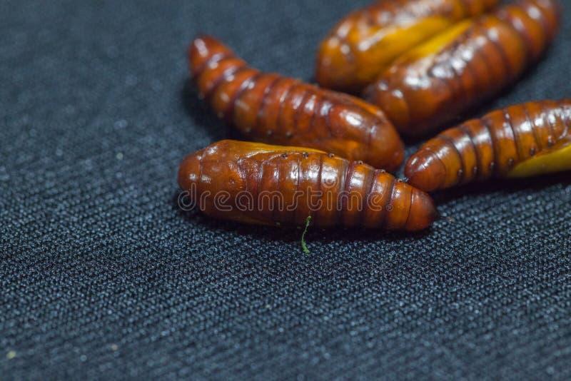 Puppen von Baumwollebollworm auf Schwarzem stockbild