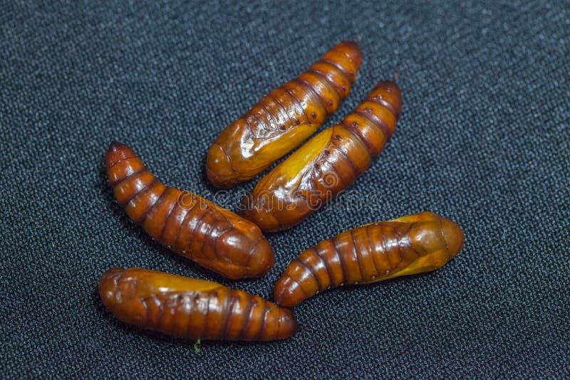 Puppen von Baumwollebollworm auf Schwarzem lizenzfreie stockfotografie