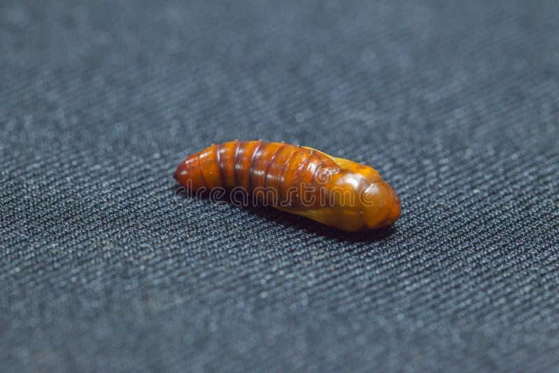 Puppen von Baumwollebollworm auf Schwarzem stockbilder