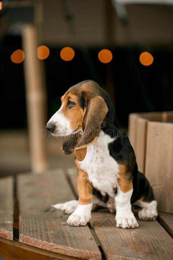 Puppey σκυλιών κυνηγόσκυλων μπασέ που στέκεται στο ξύλο φως του υποβάθρου caffe στοκ εικόνες