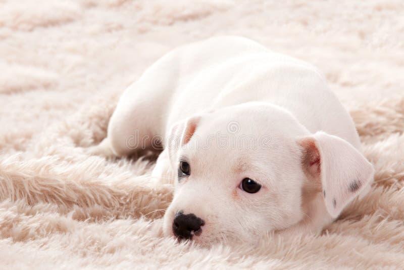 Puppie得到一些睡眠 免版税库存照片