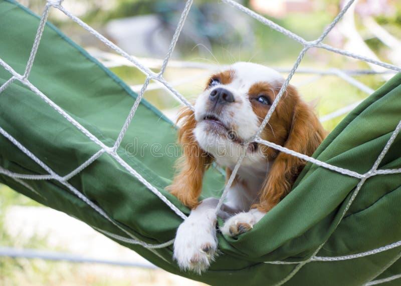 Puppie cavalier du Roi Charles Spaniel tirant la traction avec effort sur la corde photos libres de droits