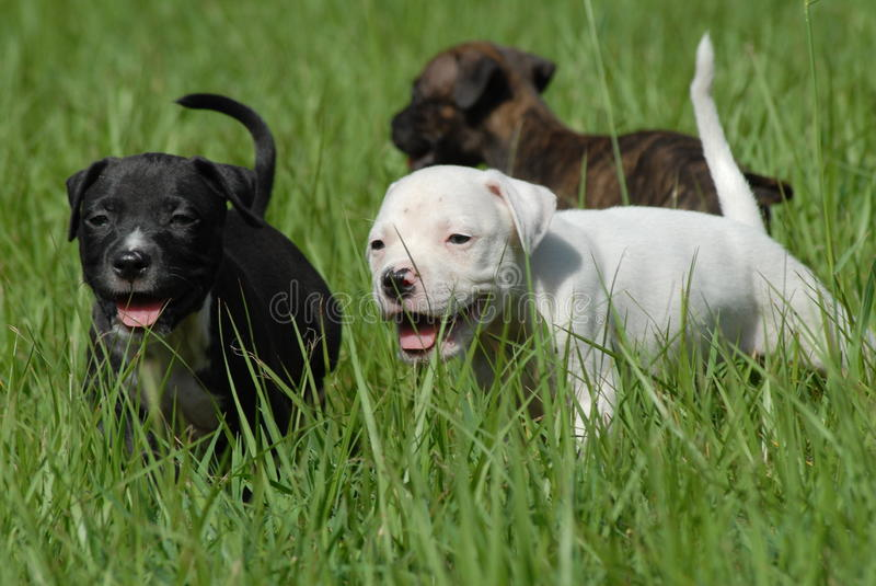 Puppies. Black, white, and brindle pit bull puppies running in green grass stock photos