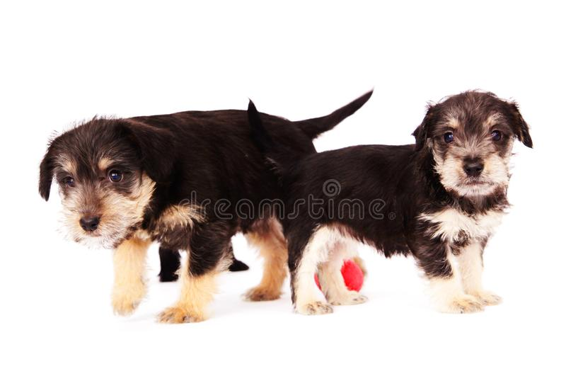 puppies fotografia stock