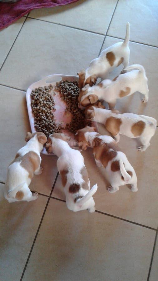 puppies fotografie stock