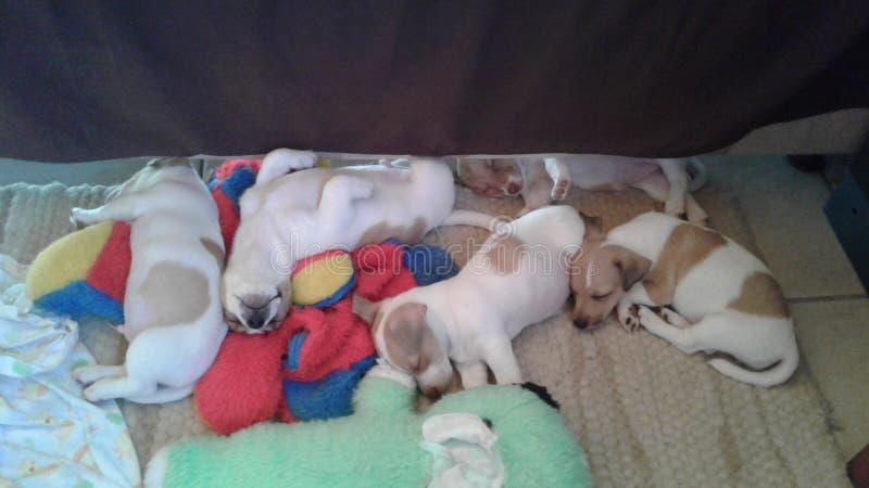 puppies fotografia stock