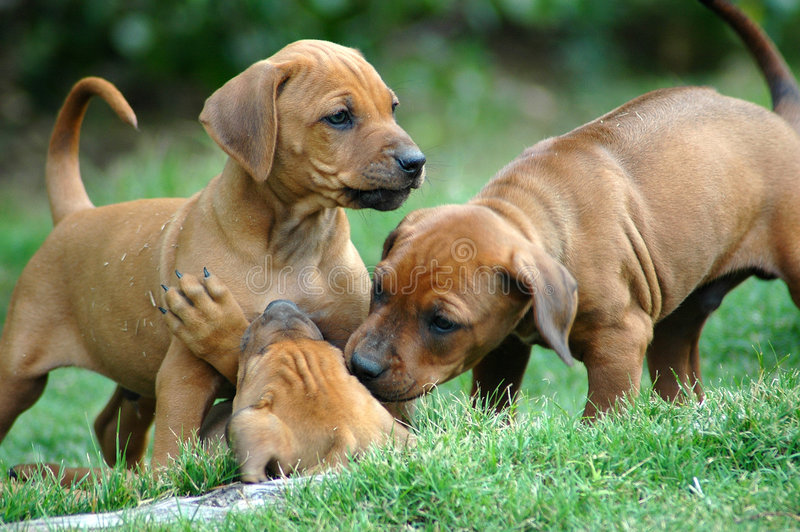 Puppies. Active red wheaten Rhodesian Ridgeback dog puppies are playing and fighting with another puppy of the litter. These babies are very cute