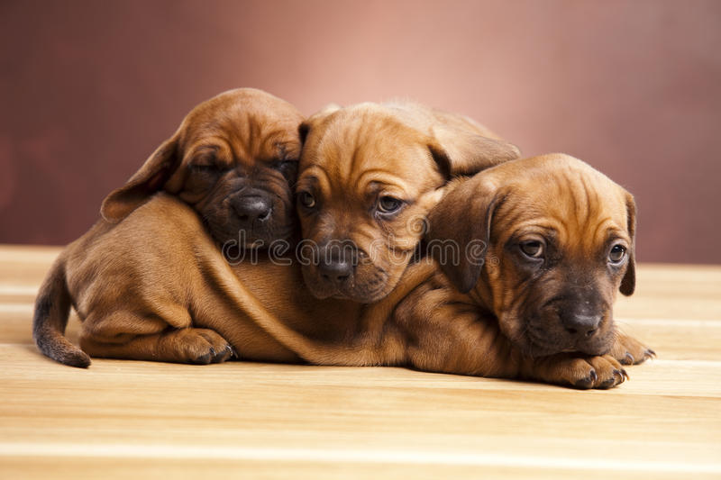 Download Puppies stock photo. Image of rest, litter, resting, cuddle - 22150650
