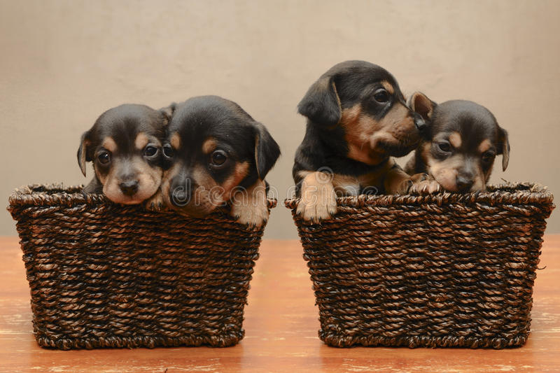 Puppies. Black and brown mix breed puppies in wicker basket