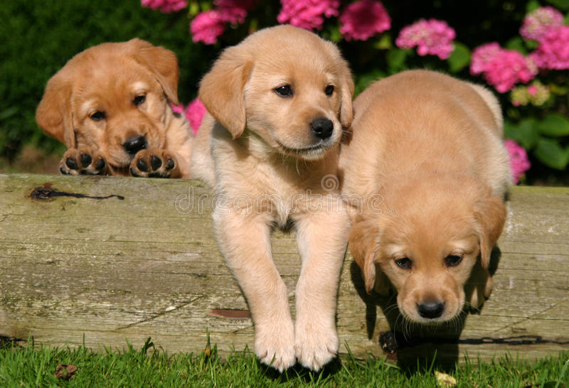 Puppies. I took these pictures of these puppies when my friend brought them to my house royalty free stock photo