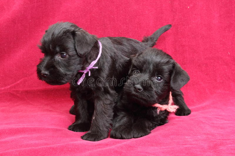 Download Puppies stock image. Image of family, breed, face, attentive - 29033689