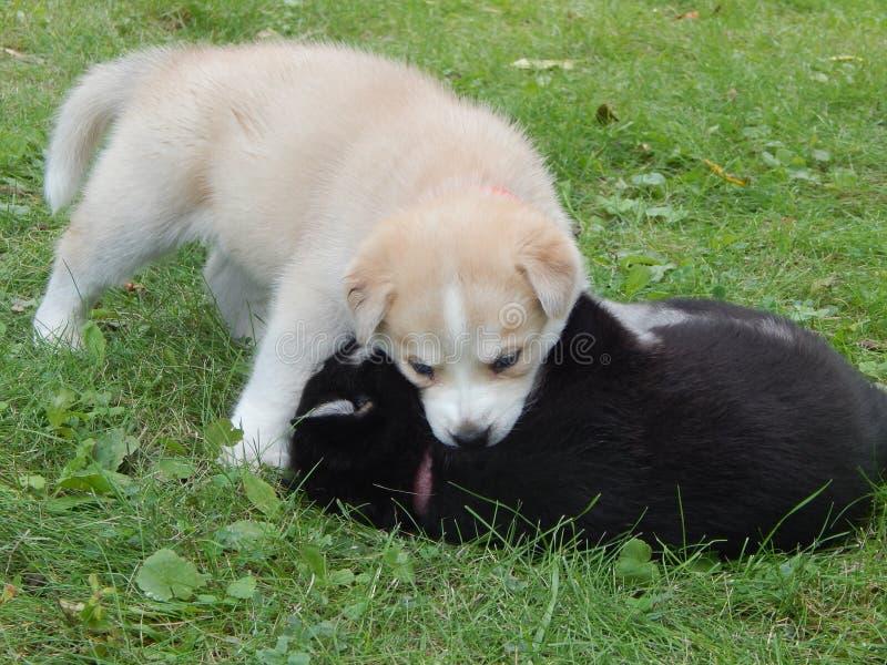 puppies fotografia de stock