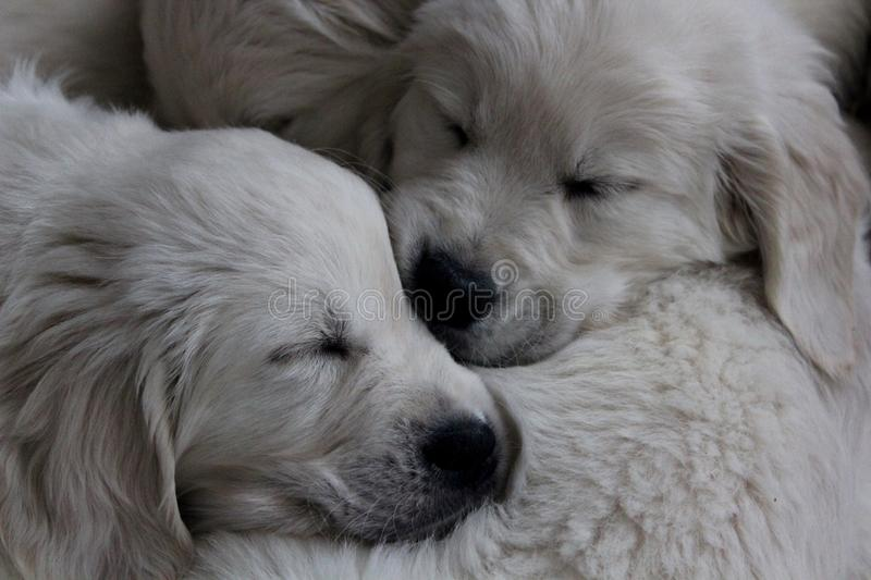 puppies stock fotografie