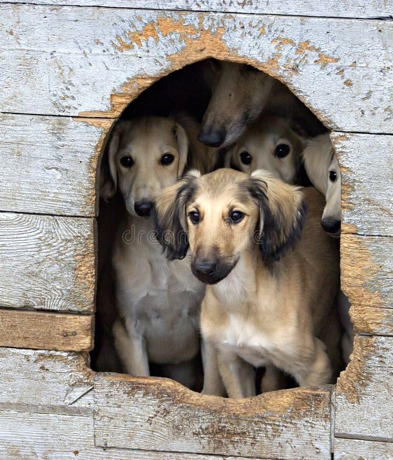 Puppies. Group of Kazakh Tazi puppies royalty free stock image