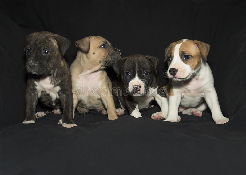 Puppies. American Staffordshire 5-week old puppies in a variety of colors stock photography