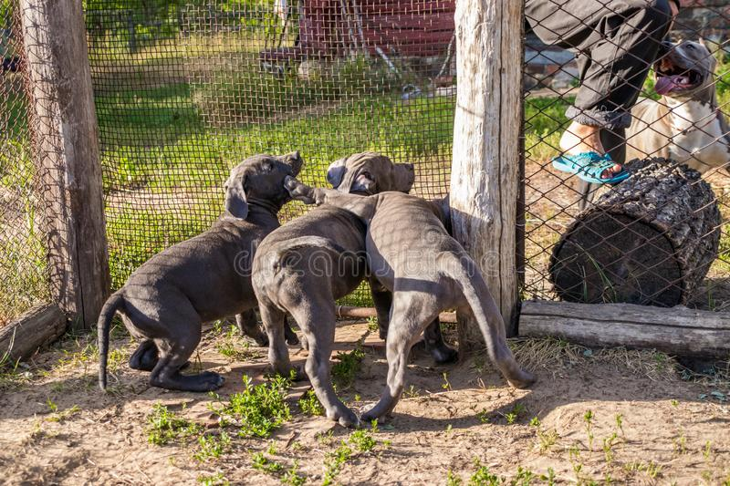 American Staffordshire Terrier puppies sitting in an aviary want to walk in the wild. Puppies of an American Staffordshire Terrier sitting in an aviary want to royalty free stock image