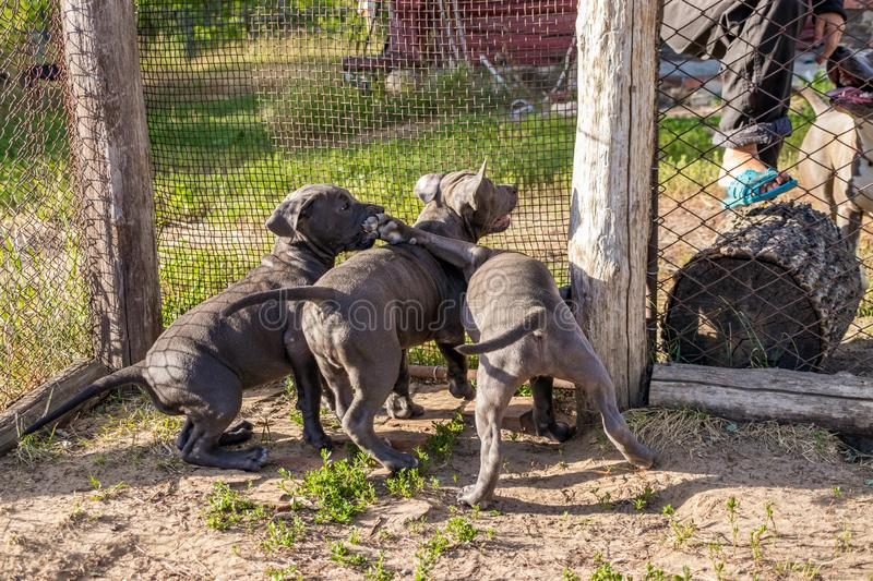 American Staffordshire Terrier puppies sitting in an aviary want to walk in the wild. Puppies of an American Staffordshire Terrier sitting in an aviary want to stock photo