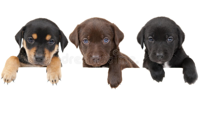 Puppies banner. 3 cute puppies showing their paws above white banner