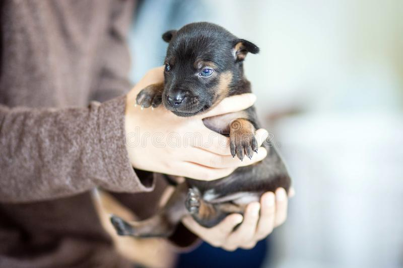 Puppies are being carried away by the owners. stock photo