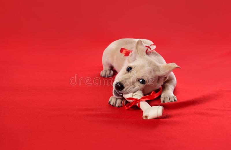 Puppies bite a bone. stock photography